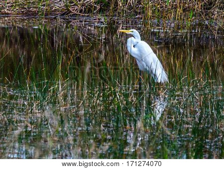 A great white heron wading in a marshy pond with reflection