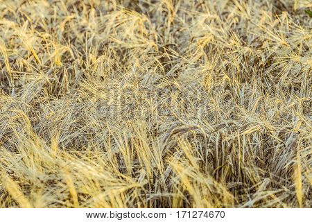 Ripe rye grains. Agricultural background with limited depth of field.