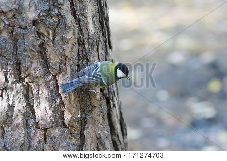 Titmouse sitting on the tree in the forest. Birds