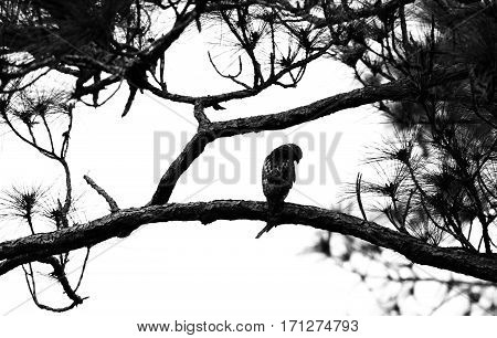 A black and white silhouette of a red shouldered hawk in a pine tree