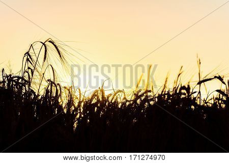 Dark silhouettes of rye spikelets in the golden rays of a bright summer sun backlight. Beautiful nature sunset. Rural scene with limited depth of field.