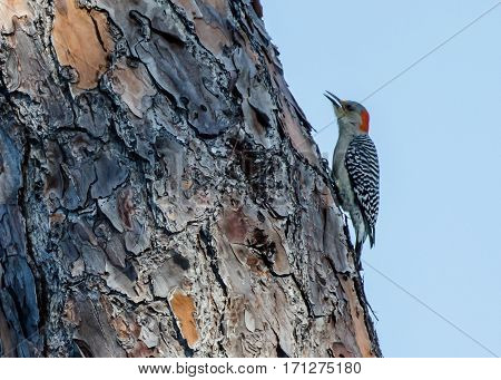 A Red Bellied Woodpecker eating on the trunk of a tree
