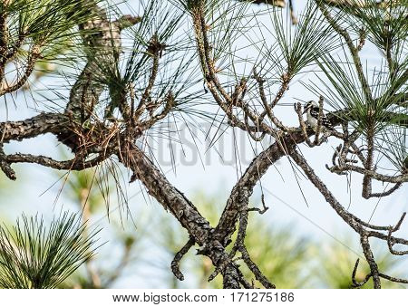 A Female Hairy Woodpecker hidden in a pine tree