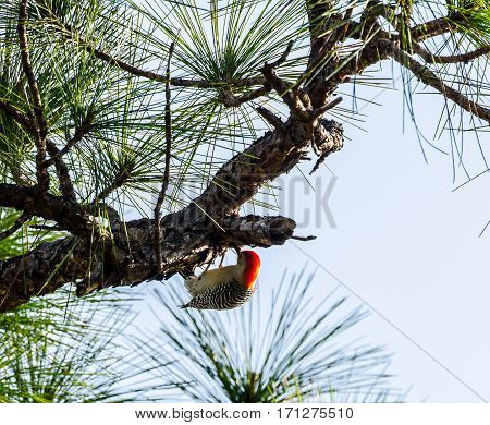 A Red Bellied Woodpecker hanging on the underside of a tree branch while feeding