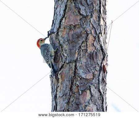A Red Bellied Woodpecker hanging on to the side of a tree while pecking for food
