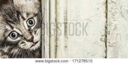 Gray kitten peeking out of wooden boards.
