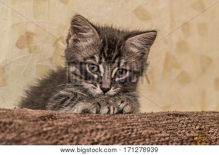 Small cute kitten napping, lying on the couch.