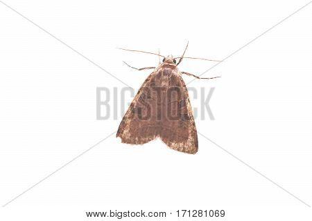 Moth isolated on white background, gray animal