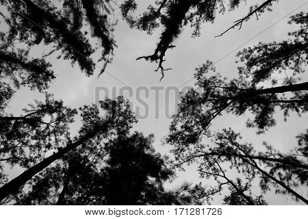 Several trees in ant sight, focused from below.