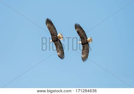 Bald Eagle in Flight Vancouver BC Canada