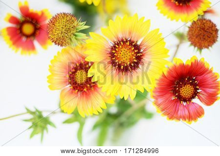 Echinacea red and yellow flowers white background