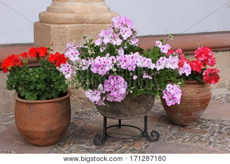 Terra cotta pots of pink and red geraniums on a patio