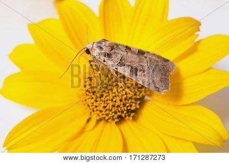 Grey butterfly collecting pollen on a yellow flower.