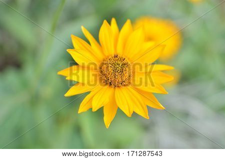 One yellow flower on green nature background