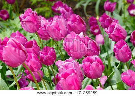 Purple tulips tulipa in a flower garden