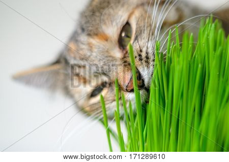 Close-up cat's face eating green grass. Pet background