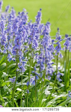Bluebells in a garden with lawn in the background