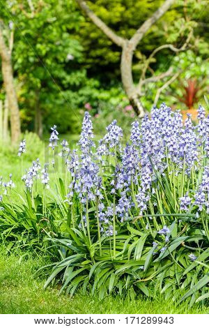 Bluebells in a garden border flower bed