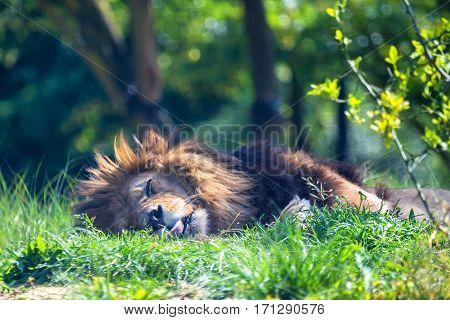 Close-up of sleeping lion or Panthera leo