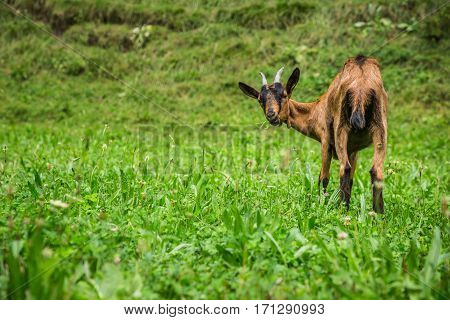 Goat on the green summer meadow Europe
