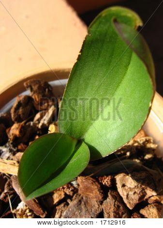 Ochid Leaf