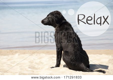 Speech Balloon With English Text Relax. Flat Coated Retriever Dog At Sandy Beach. Ocean And Water In The Background