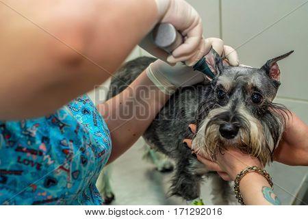 Veterinary physician examining ear of labrador with otoscope