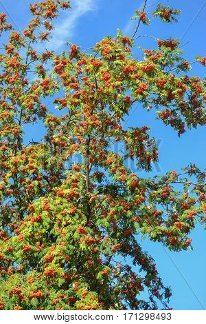 Rowan tree on the summer in Poland. Outdoor August.