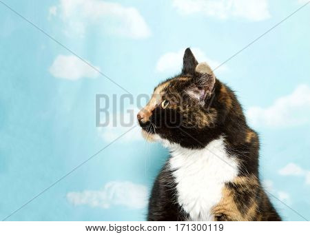 Profile portrait of one young calico cat looking to viewers left. Blue background sky with clouds. Copy space.