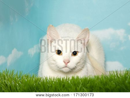 One white tabby cat laying in tall grass looking directly at viewer. Blue background sky with clouds. Copy space.