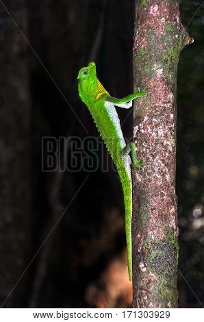 Lyre-headed lizard (lat.: Lyriocephalus scutatus) on the tree.