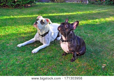 American and French Bulldog are sitting on the grass.