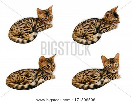 Bengal kitten during sleep and then on the back of the sofa. Everything happens and isolated on white background.