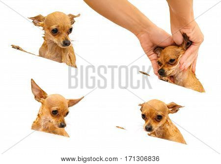 Russian Toy Terrier. The dog is bathed in the bath. Pale orange color, a boy 9 months. name is Bambi.