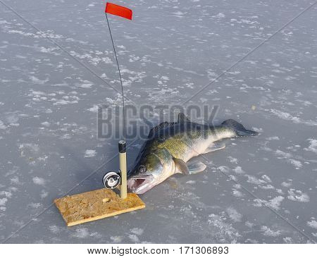 The huge zander and tackle for fishing on the ice