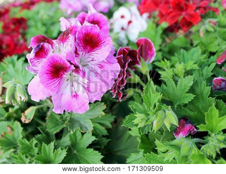 Pelargonium ornamental plant with beautiful flowers in a pot