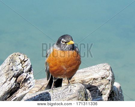 American Robin isolated in Humber Bay Park on a shore of the Lake Ontario in Toronto Canada March 30 2013