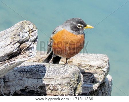 The American Robin in Humber Bay Park on a shore of the Lake Ontario in Toronto Canada March 30 2013