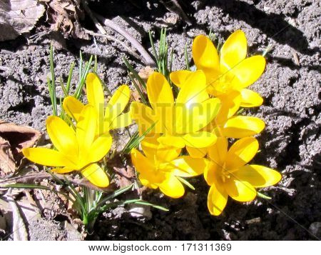 Yellow crocus in Humber Bay Park on a shore of the Lake Ontario in Toronto Canada March 30 2013