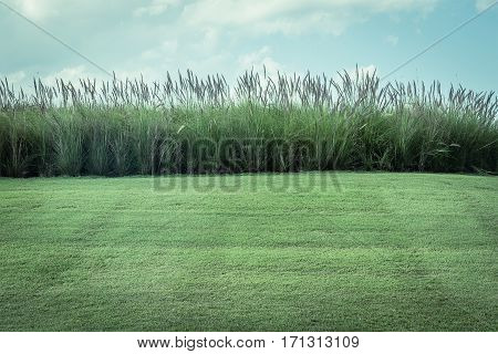 Imperata Cylindrica Beauv With Grass Field