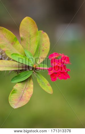 Red Euphorbia milli flower Crown of thorns