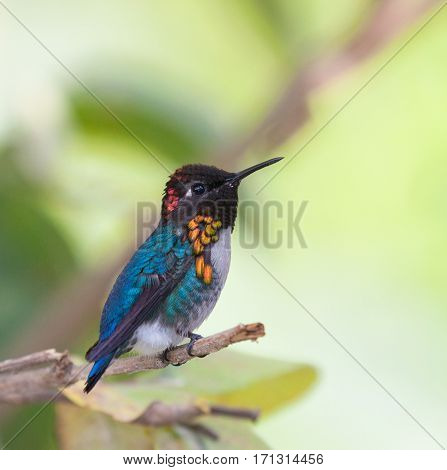The smallest bird in the world is a male Bee Hummingbird (Mellisuga helenae)