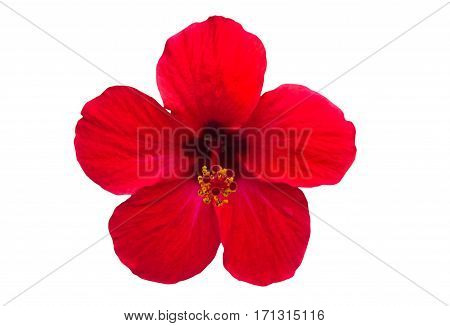 Macro of red China Rose flower (Chinese hibiscus Hibiscus rosa-sinensis Hawaiian hibiscus shoe flower ) isolate on white background.Saved with clipping path