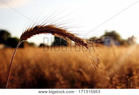 Golden ear on the  wheat field with the sky on beckground