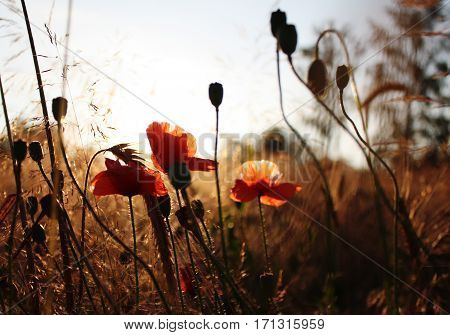 Poppy flowers in wheat field with the sky on the background
