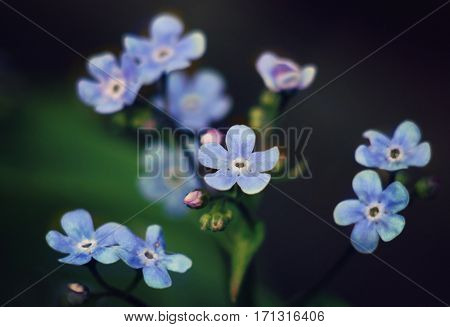 Small blue flowers on the sunny glade. Macro