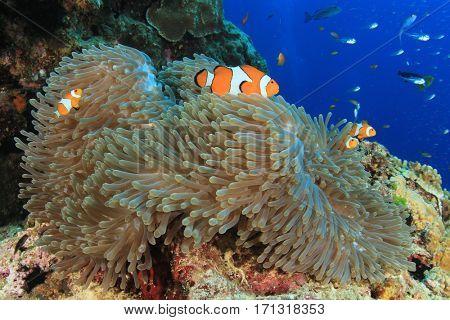 Clownfish and sea anemone