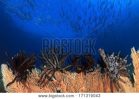 School Barracuda fish swims over coral reef. Underwater ocean reef in sea
