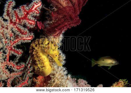 Yellow Seahorse. Tigertail Seahorse. Sea-horse, sea horse