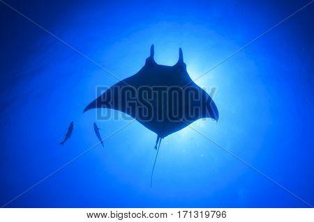Manta Ray. Oceanic Manta (Manta ray)
